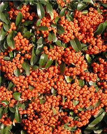 Pyracantha Saphyr® Orange Cadange Buisson ardent Saphyr® Orange Cadan