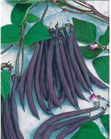 Haricot mangetout Purple Queen