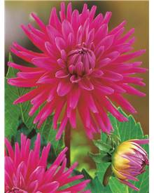 3 Dahlias cactus 'Purple Gem'