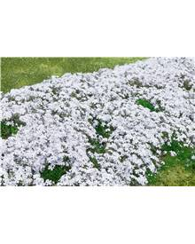 3 Phlox mousse blancs