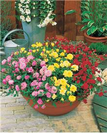 Collection de 3 mini-rosiers pour balcon : 1 rose + 1 jaune + 1 rouge