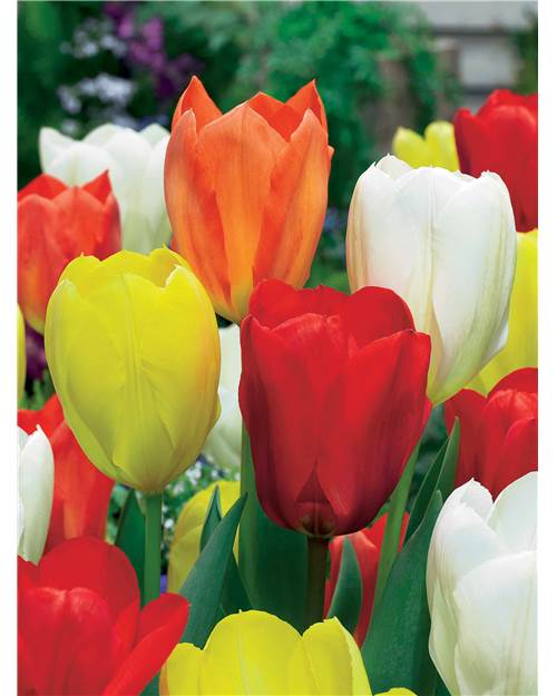 Collection 20 Tulipes 'Emperor' (5 blanches + 5 rouges + 5 jaunes + 5 orange)