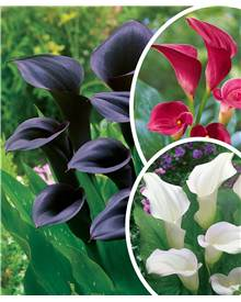 Collection de 6 Callas (2 Rouge Majestueux , 2 Odessa, 2 Captain Vent