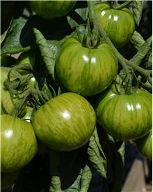 3 Plants Tomate 'Green Zebra'
