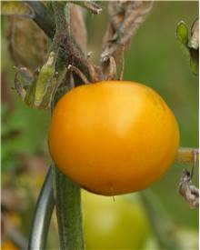 Collection 9 plants tomates originales