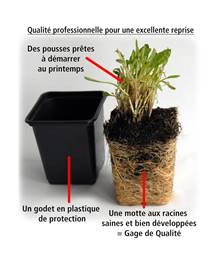 Collection de 12 plantes vivaces hautes pour bordures et bouquets