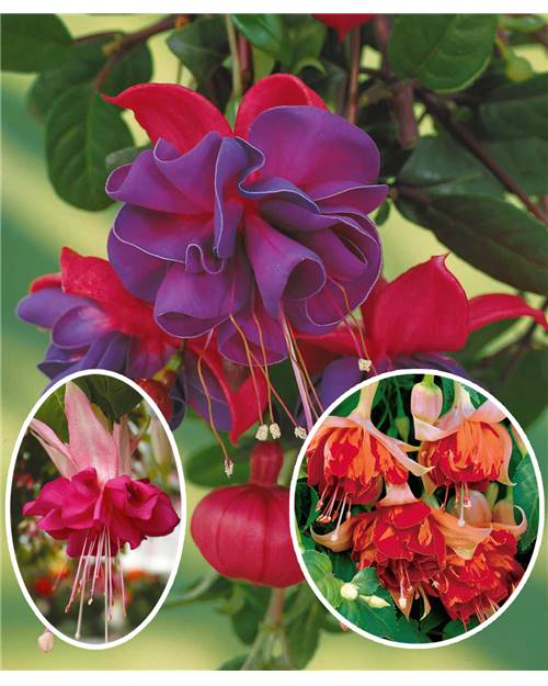 Collection de 6 fuchsias (2 Bicentennial+ 2 Dark Eyes + 2 Bella Rosella)