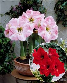 Collection 2 Amaryllis naines (1 Valencia + 1 Angelique)