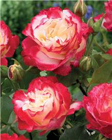 Rosier buisson 'Double Delight'