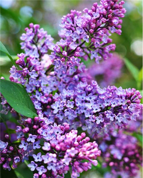 Lilas double lilas