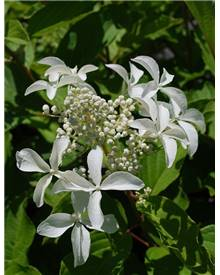 Hortensia paniculata 'Great star'