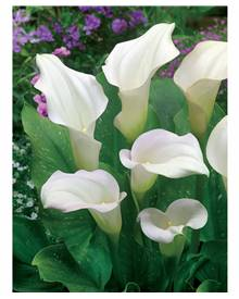 2 Callas 'Captain Ventura'