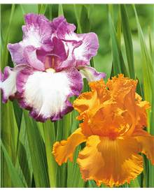 Collection 6 iris de jardin remontants(3 Autumn encore, 3Maid Orange)