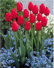 5 Tulipes longues tiges rouges