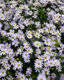 Kaliméris Blue Star Aster du Japon Blue Star