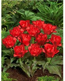 10 Tulipes 'Chaperon Rouge Double'