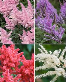 Collection de 4 Astilbes (1 rouge +1 blanche + 1 rose + 1 lilas)