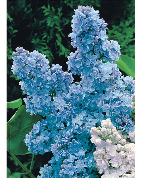 Lilas Double Bleu Willemse