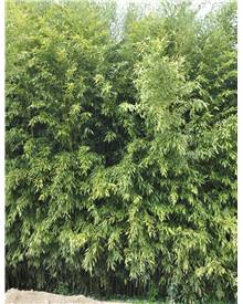 Bambou Phyllostachys bissetii 3X7L