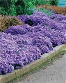 3 Asters Wood's light blue