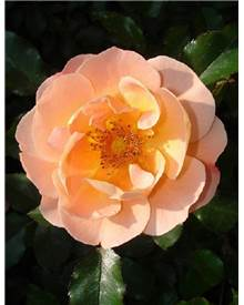 Rosier 'Calizia' noa 97400a