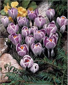 15 Crocus 'Pick Wick'