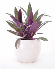 Tradescantia Purple Flame