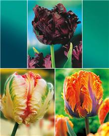 Collection 24 tulipes perroquet (Princesse Irene, Black Parrot, Apric