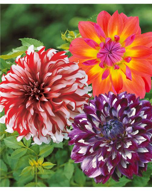 Collection de 9 Dahlias décoratifs