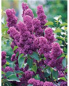 Lilas double rouge