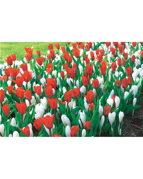 Collection de 10 Tulipes 'Showwinner' +20 Crocus 'Jeanne d'Arc'