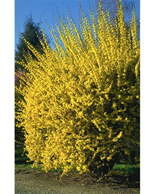 FORSYTHIA intermedia Lynwood