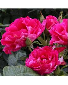 Rosier 'Guy Savoy' ® delstrimen