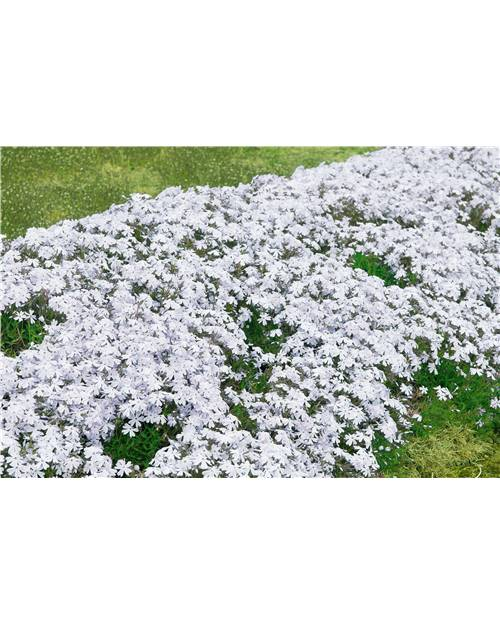 15 Phlox mousse blancs