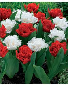 10 Tulipes doubles frangées rouges Anfield et blanches Snow crystal