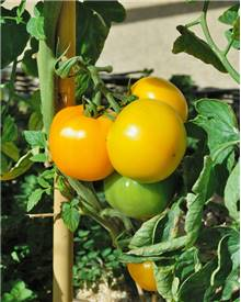 3 Plants Tomate 'Lemon Boy' F1