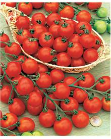 Collection 6 Plants Tomates Cerises ('Supersweet 100', 'Black Cherry')
