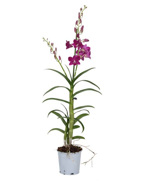 Orchidée bambou Purple Hapiness