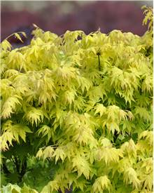 Erable Acer palmatum 'Orange dream' 15L