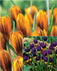 Collection de 40 crocus (15 Orange Monarch, 25 Tricolor)