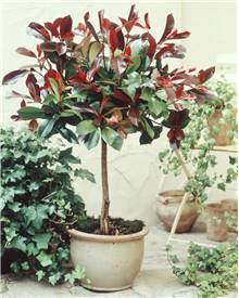 Photinia 'Red Robin' sur tige