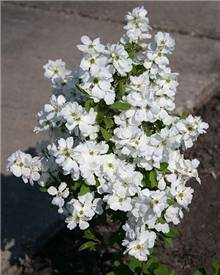 Exochorde Magical® Springtime