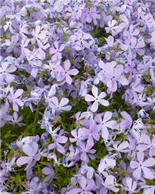 Phlox divaricata Clouds of Perfume