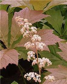 Rodgersia à feuilles de marronnier Irish Bronze