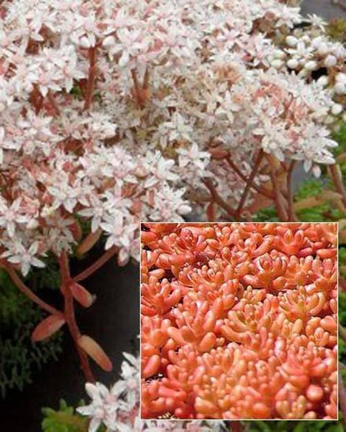 Sedum Coral Carpet Orpin Coral Carpet