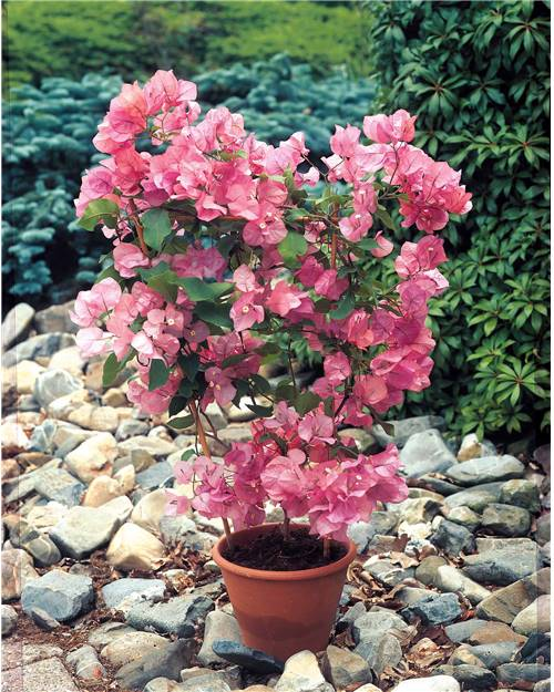 Bougainvillier rose willemse for Willemse fleurs