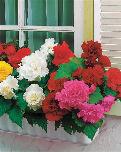 Collection 25 Bégonias frangés (5 orange, 5 jaunes, 5 rouges, 5 roses, 5 blancs)