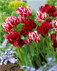 Collection de 10 Tulipes multiflores rouges (5 Fiery Club + 5 Flaming