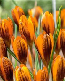 15 Crocus orange