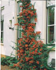 Pyracantha rouge